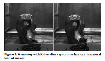 A monkey with Klüver-Bucy syndrome