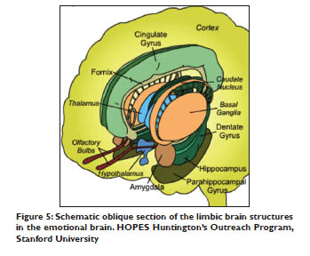 Schematic oblique section of the limbic brain structures